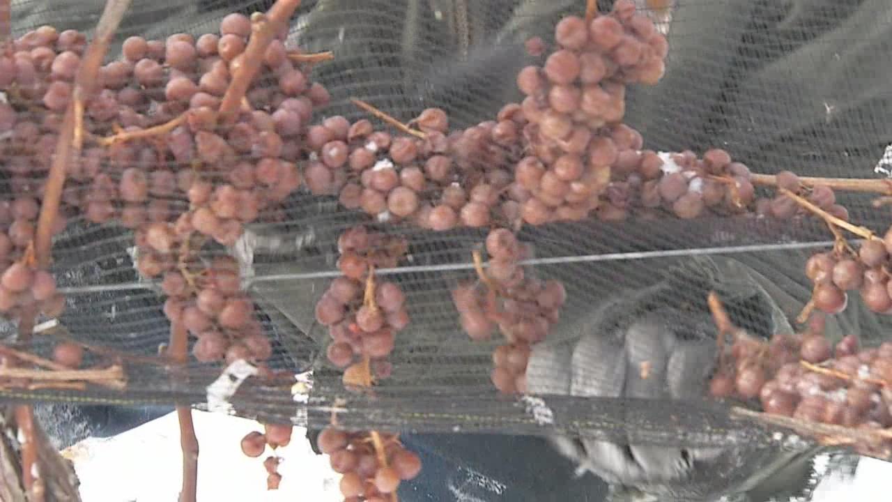 Grapes_82176