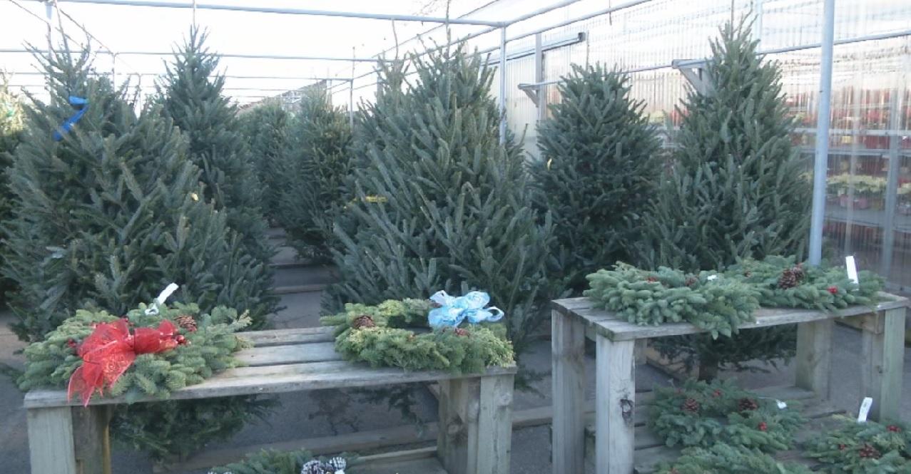 christmastrees_216152