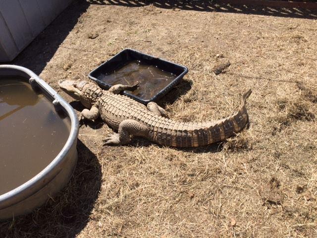 alligator-2_262364