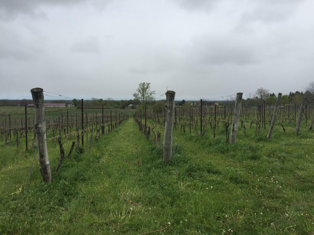 vineyards_269037