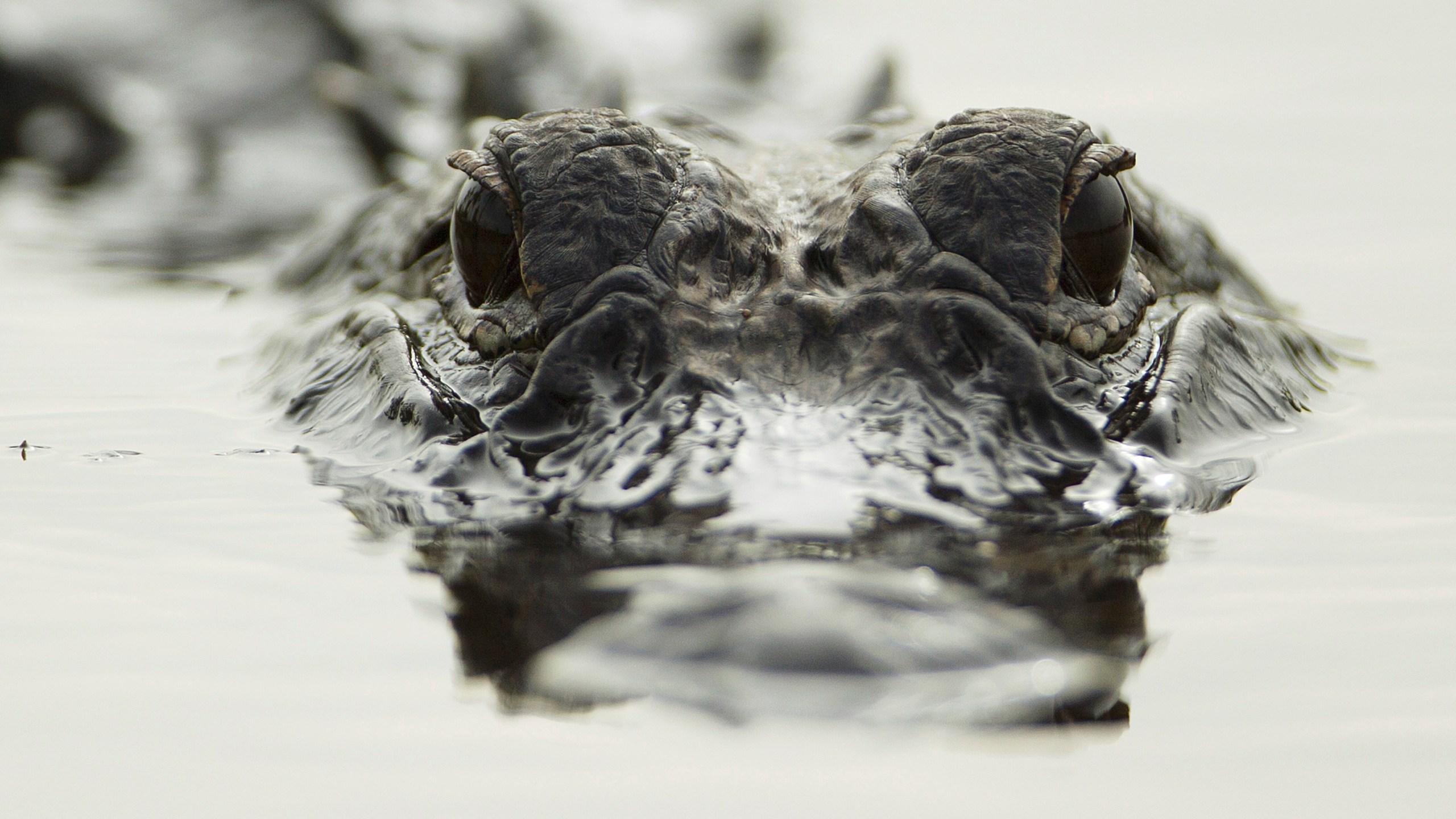 Alligator_148313