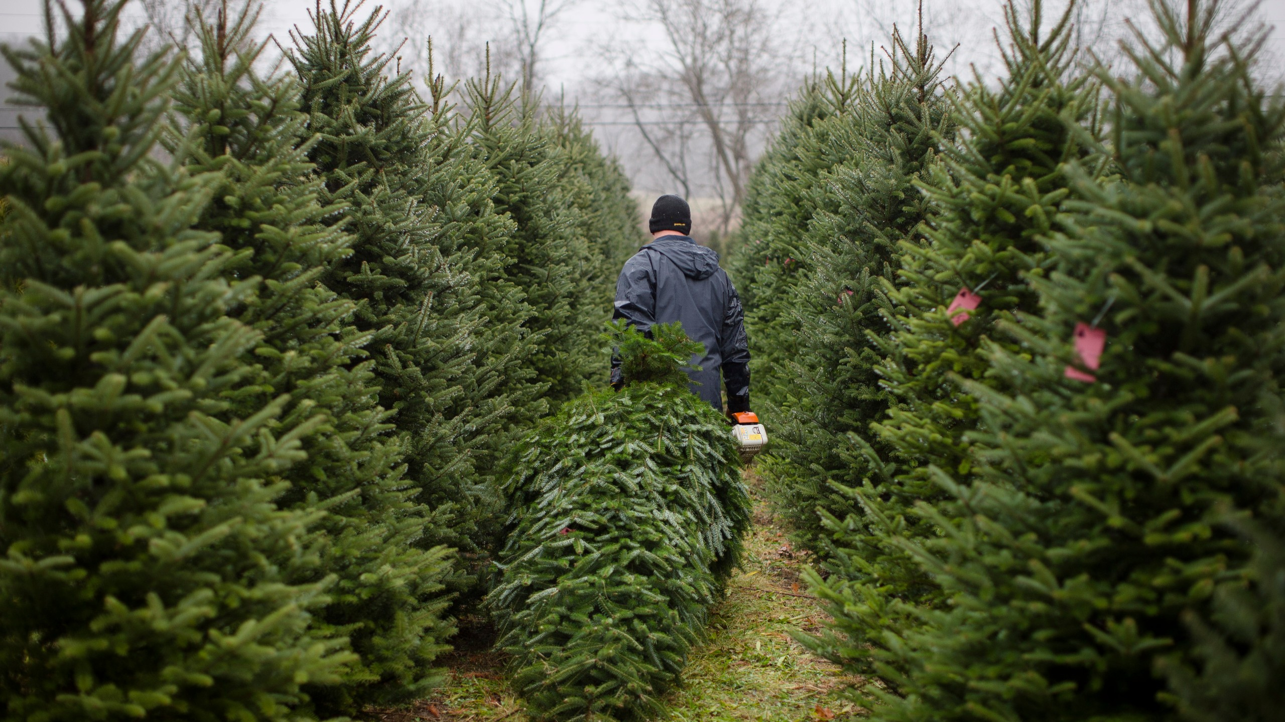 Cut Your Own Christmas Tree.Places To Cut Down Your Own Christmas Tree This Season