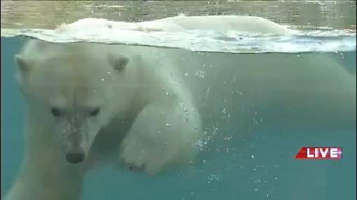 polar bear_1531929347509.jpg.jpg