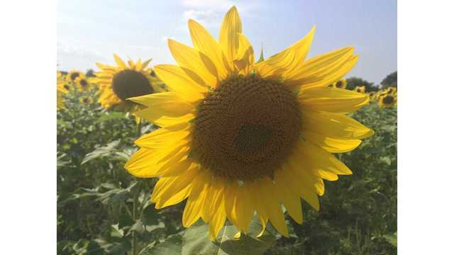 sunflower_1539308594566.jpg