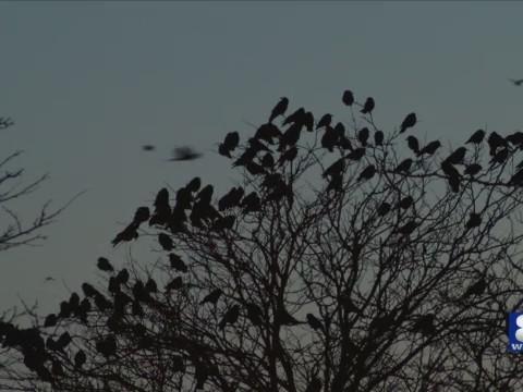 crows_1543416735502.jpg