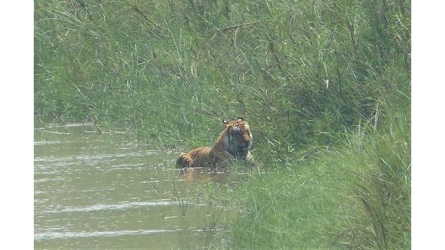 tiger spotted 3_1556811392462.jpg_85649514_ver1.0_640_360_1556822312672.jpg.jpg