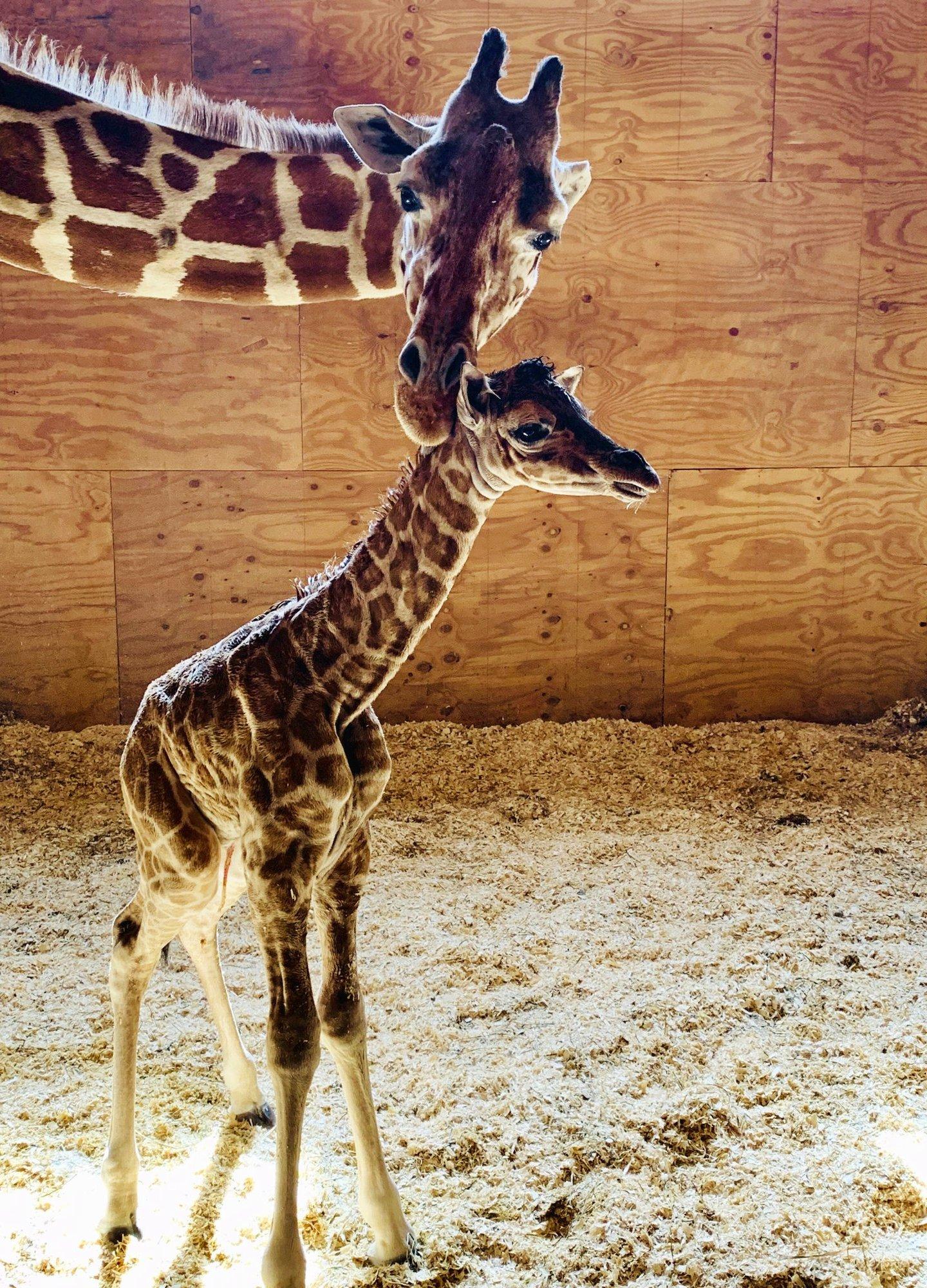 AprilTheGiraffe2000 (4)_1559859021152.jpeg.jpg