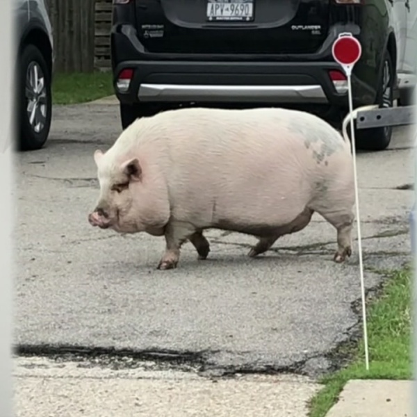 Pet pig to leave Amherst soon