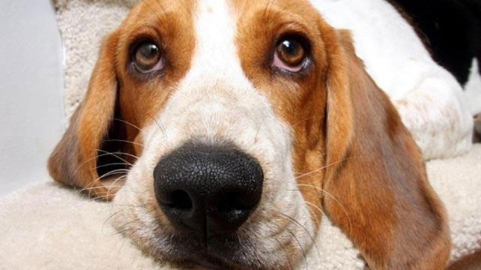 beagle2C20dog2C20closeup_18343730_18673868_ver1.0_1561573429079.jpg