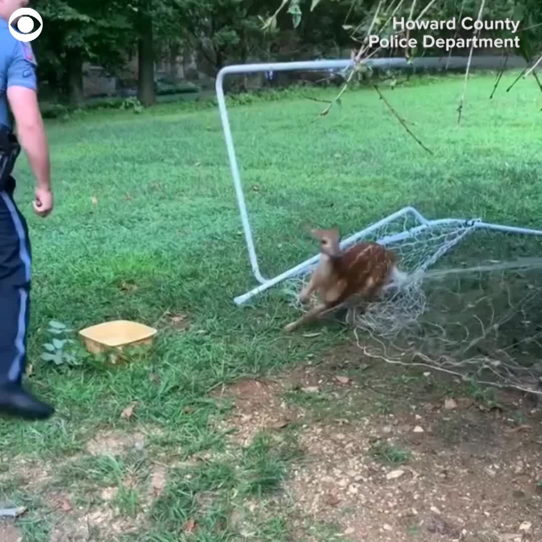 WATCH: Police free deer from soccer net | News 4 Buffalo